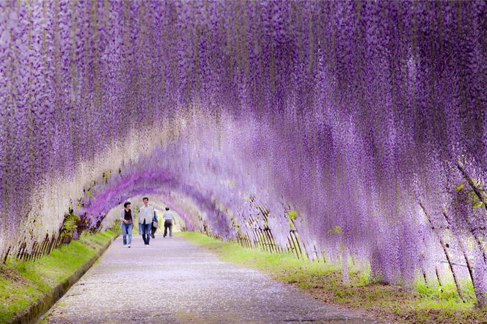 Túnel da flor de Wisteria