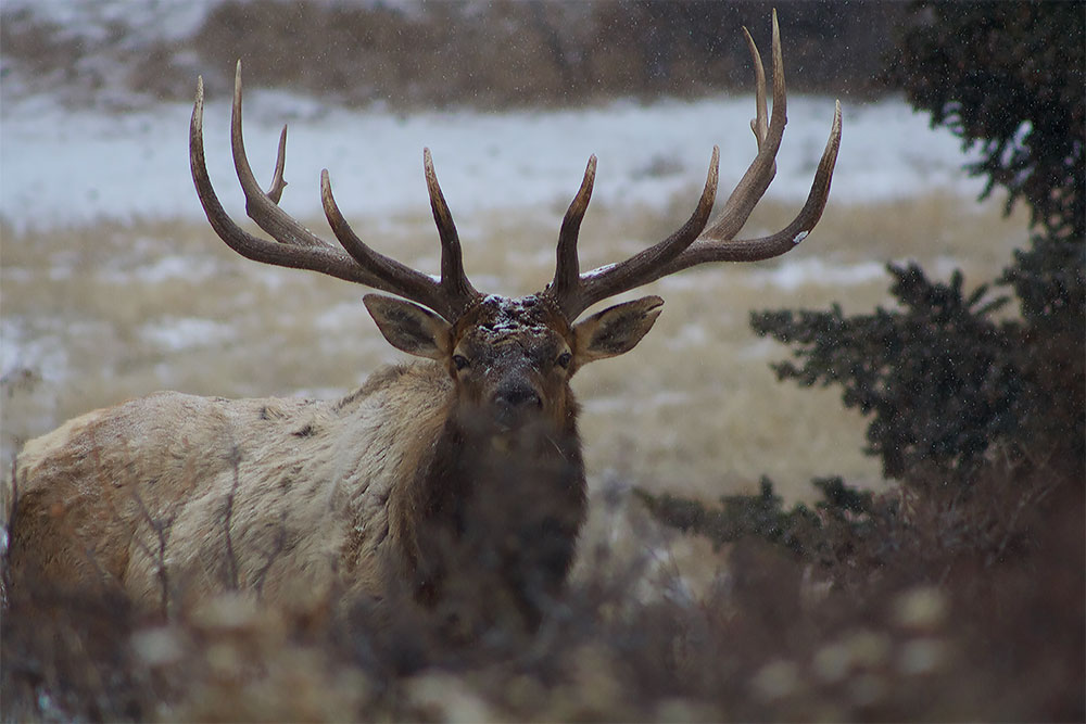 Elk in Estes Park on a snow day
