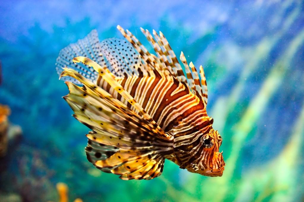 Lionfish Credit- Vudhikrai