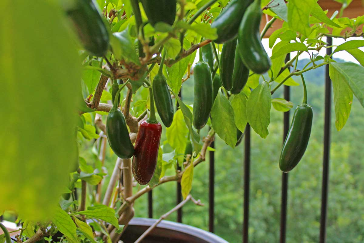 Jalapenos dangling from plant