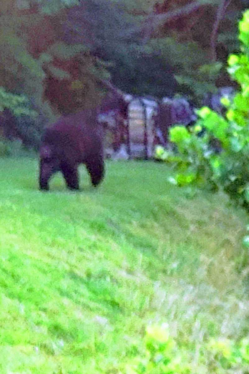 big bear in yard