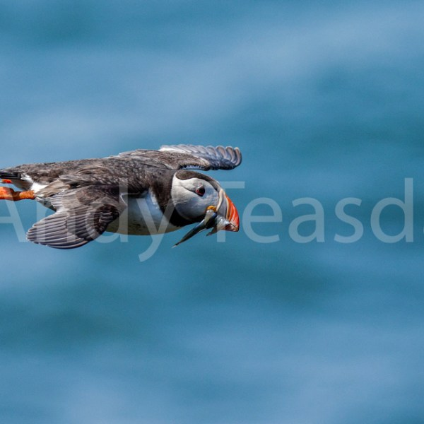 A Puffin in flight carrying Sandeels