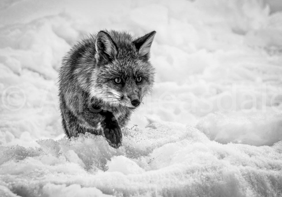 A Red Fox walking across snow