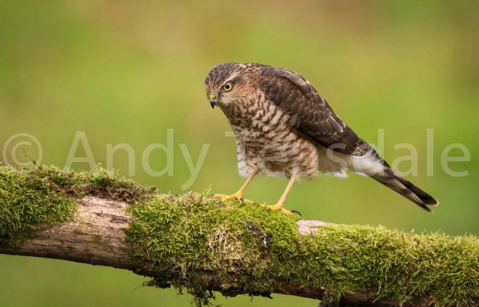 A juvenille Sparrowhawk
