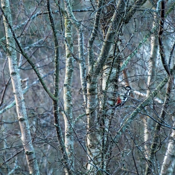 Great Spotted Woodpecker amongst the Birches