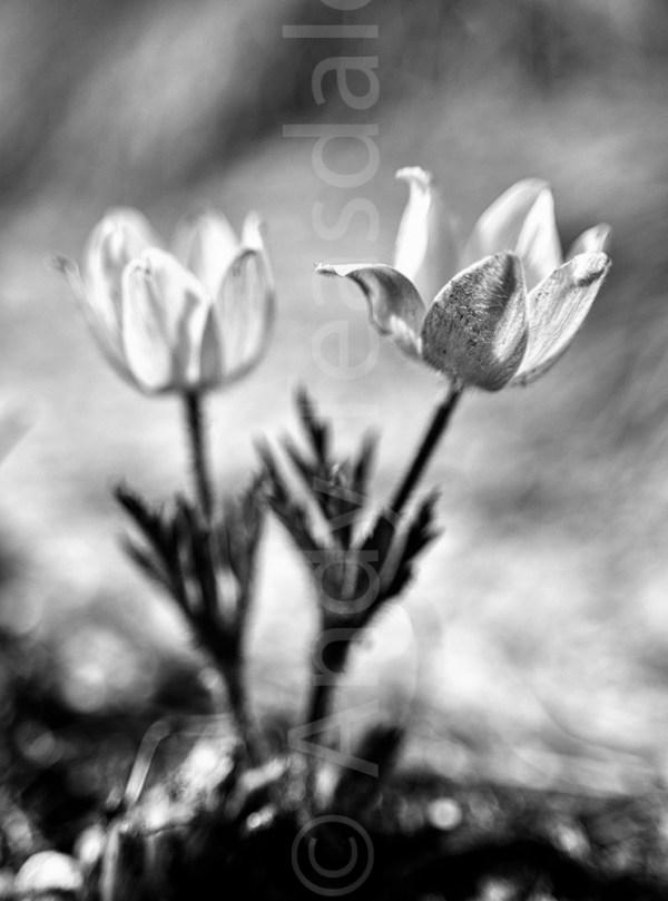 Alpine Pasqueflower 02