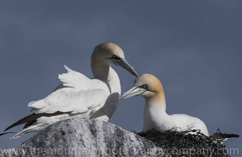 The Gannet colony