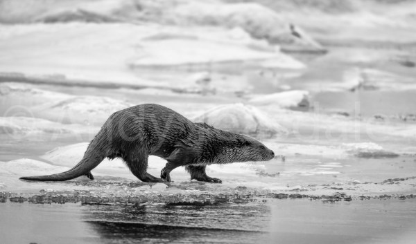 An Otter on Ice