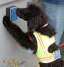 Service dog Poodle opens door