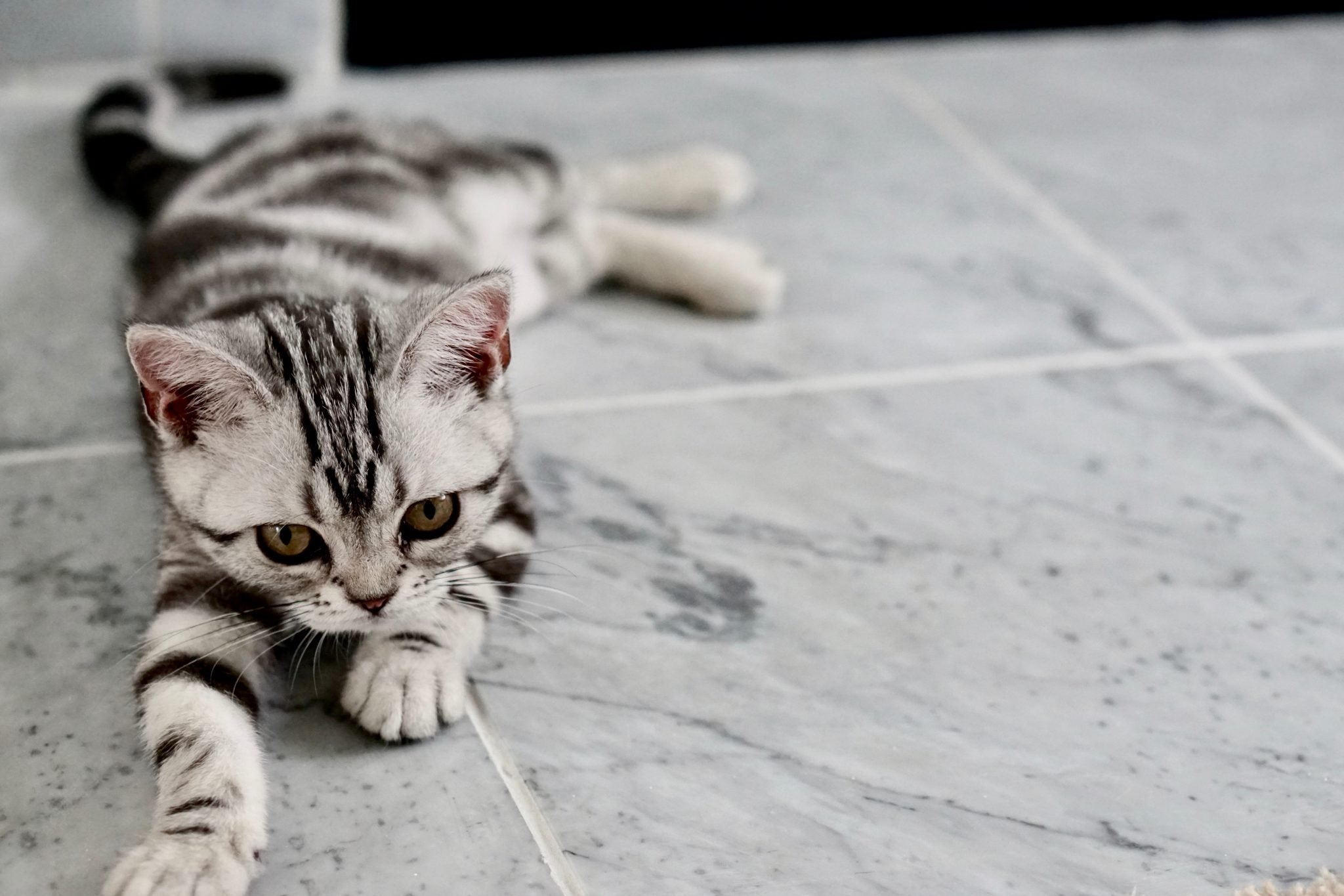 flea free cat on tiled floor