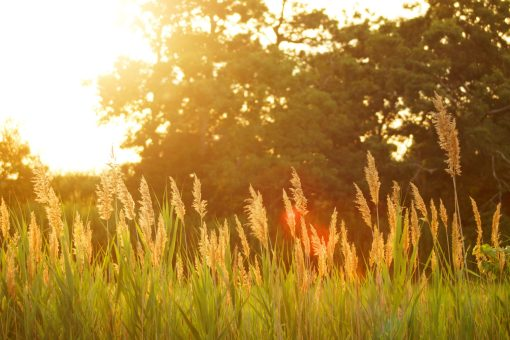 field of wheat with sun in the background