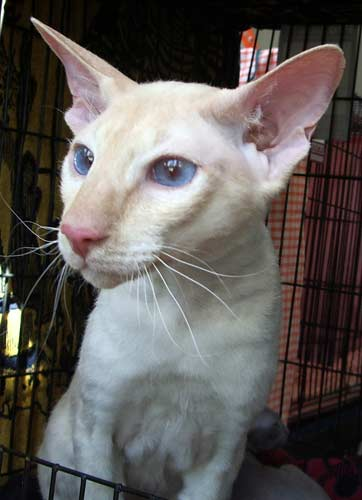 Peterbald cat - 10 Rare Domestic Cat Breeds