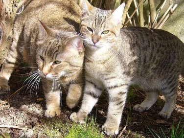 Pixie bob - 10 rare domestic cat breeds