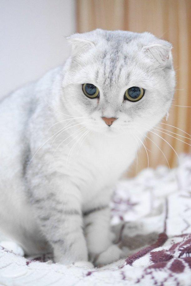 Scottish Fold Cat - 10 Rare Domestic Cat Breeds