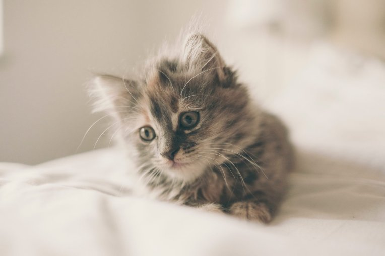cat pregnancy kitten on bed