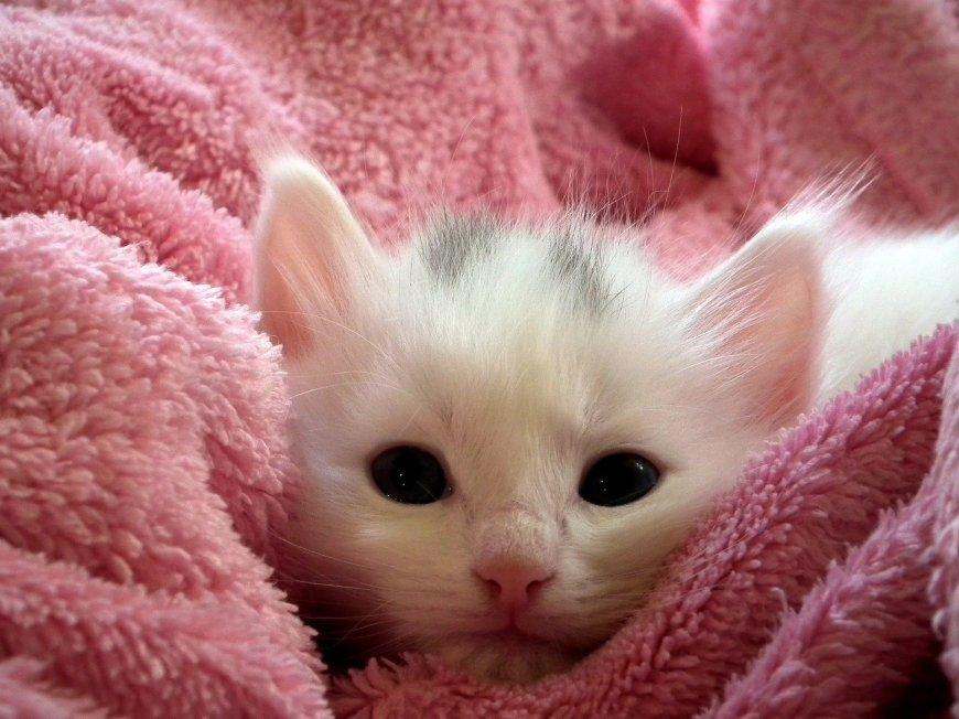 cat pregnancy kitten in a towel