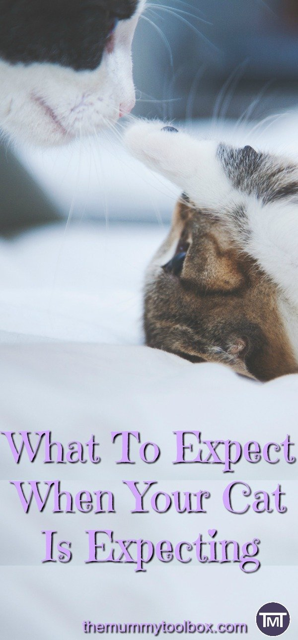 all about cat pregnancy. What to expect during pregnancy, labour and post birth. Also how you can help, what to look out for and when you should seek advice from the vet #cats #catcare #catpregnancy