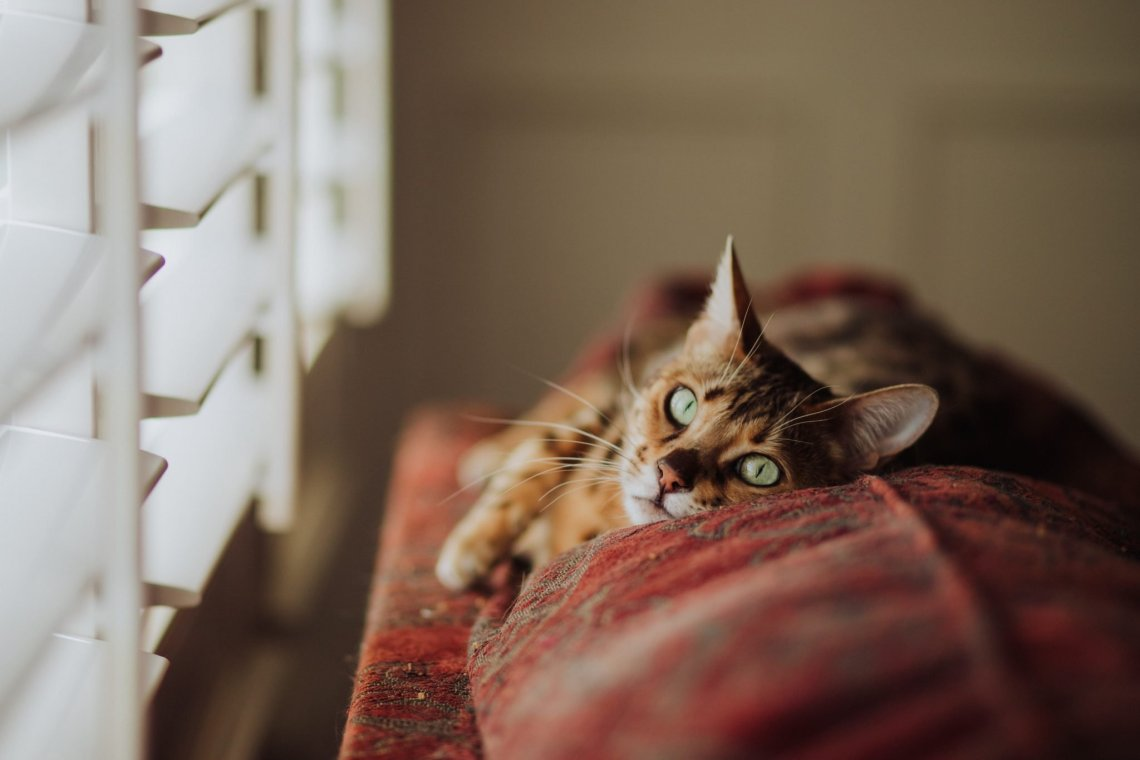 cat lying on the top of a sofa, staring out the window at blinds