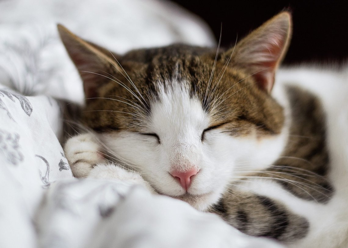 white and tabby cat asleep on white blanket, close up on face. Feature image for are essential oils harming cats?