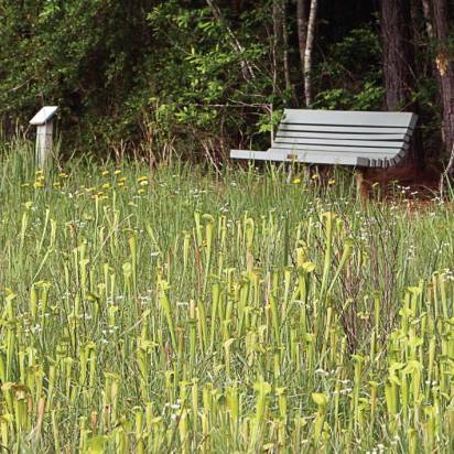 A bench offers a rest at the edge of Crosby Arboretum's south pitcher plant bog, which contains Sarracenia alata, the yellow pitcher plant. (Photo by Lana Gramlich; property of the Crosby Arboretum Photo Archives)