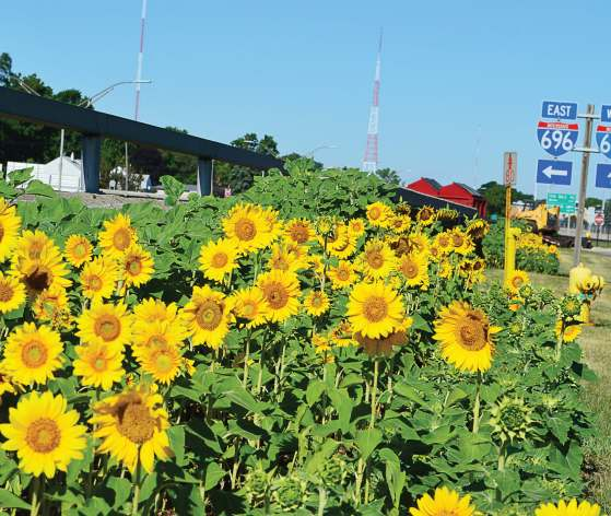 Oak Park, Mich., began planting sunflowers throughout the city thanks to a placemaking plan thought up by City Manager Erik Tungate. Sunflowers can be seen along the I-696 freeway where over 20,000 vehicles travel each day (Photo provided)