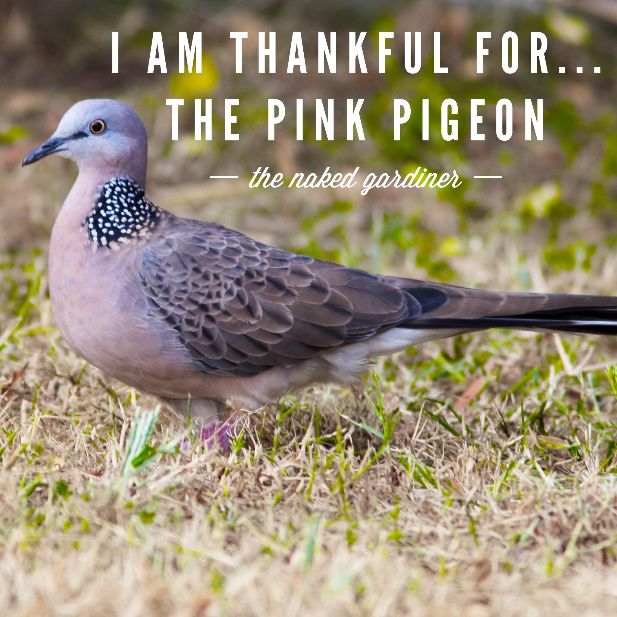thankful-thursdays-the-pink-pigeon-thenakedgardiner
