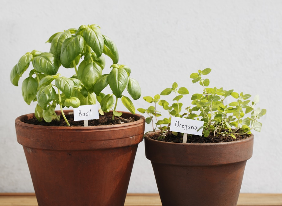 Basil and oregano herbs growing in clay pots.