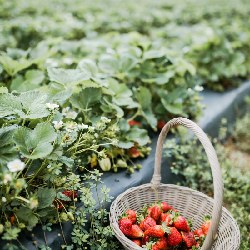 Middle TN Strawberry Picking