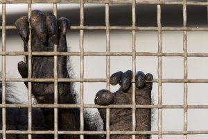 Chimpanzees in New York Awarded Show Cause Hearing