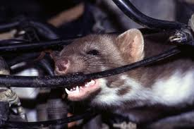 rodent chewing wire