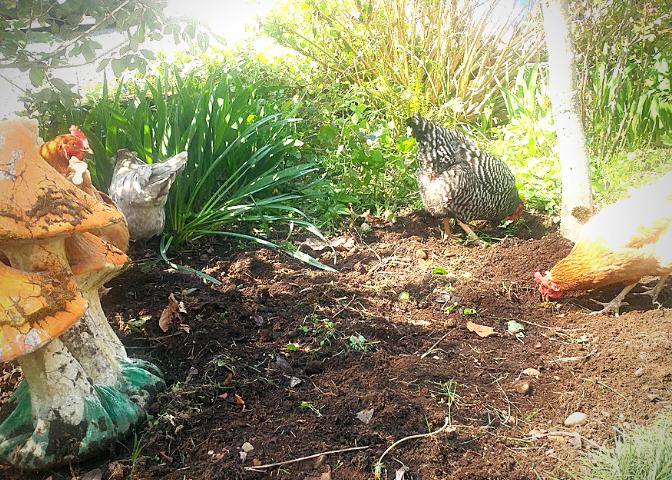 chicken fertilizer