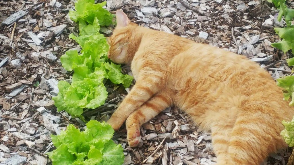 Kitty and Lettuce