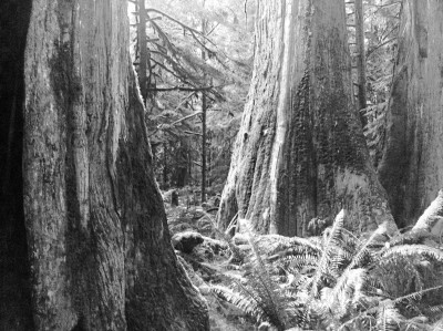 Members of the community of old growth Cedar in nearby Cathedral Grove. Photo by Chantelle Spicer