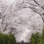 Cherry Blossom, Jinhae, South Kore