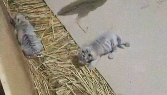 785063 585428 lahore zoo white tiger updates