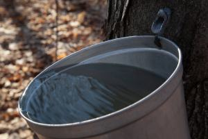 Borderlines: Bucket collecting maple tree sap