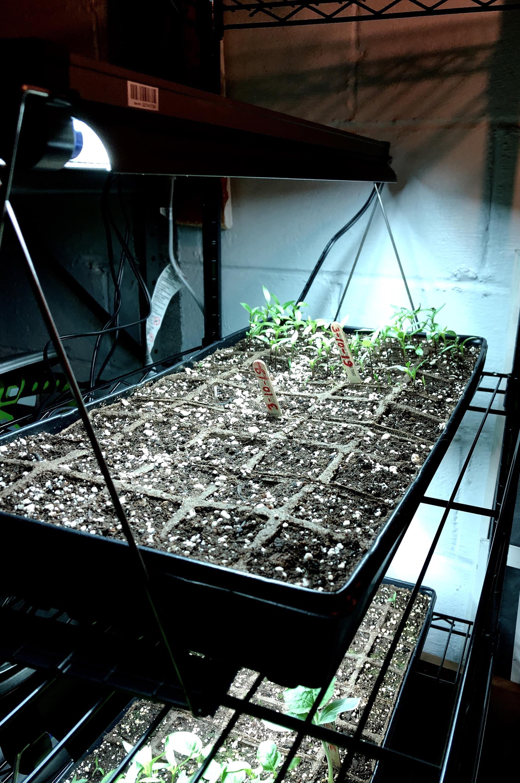 Saplings in Manika Gautam's basement being grown in preparation for transplantation.