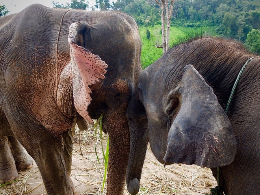 elephants at a sanctuary in chiang mai