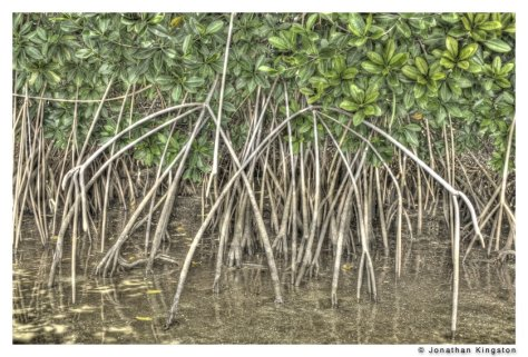 Mangrove roots, Molokai, Hawaii