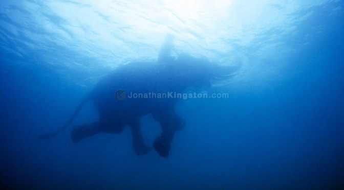 Swimming Elephant by Jonathan Kingston