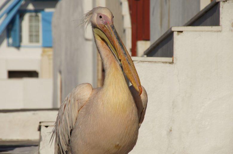 Pink pelican in Mykonos, Greece