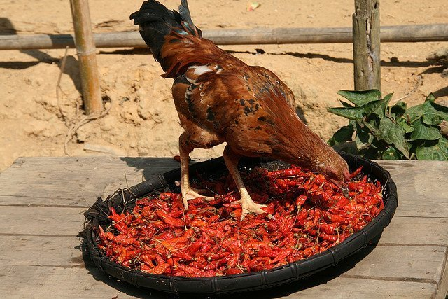Chicken eating chilis