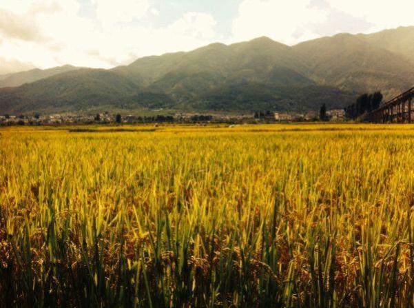 Millet fields near Er'hai Lake - Living The China Study