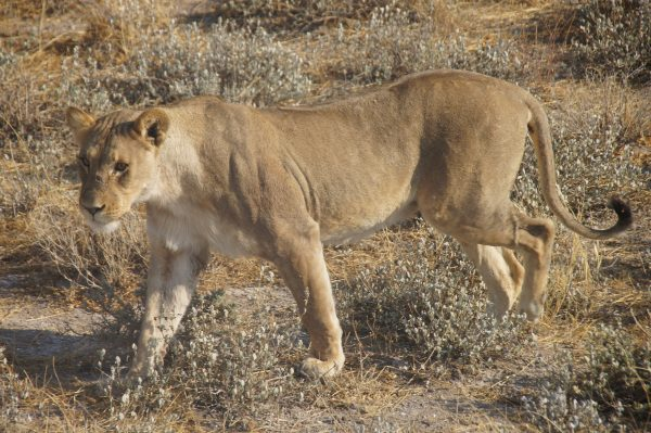 lion in Etosha - tour of Namibia
