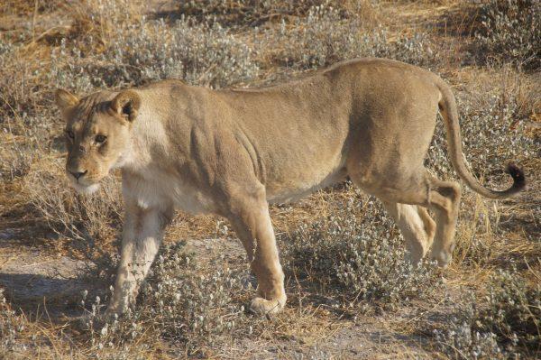 lion in Etosha - tour of Namibia