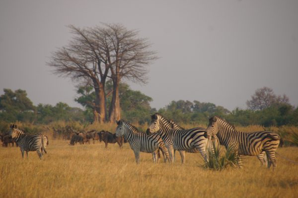 Zebras and wildebeest -  vegan guide