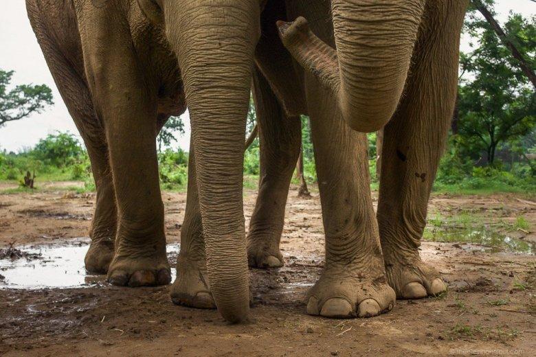chain-free elephants in Nepal