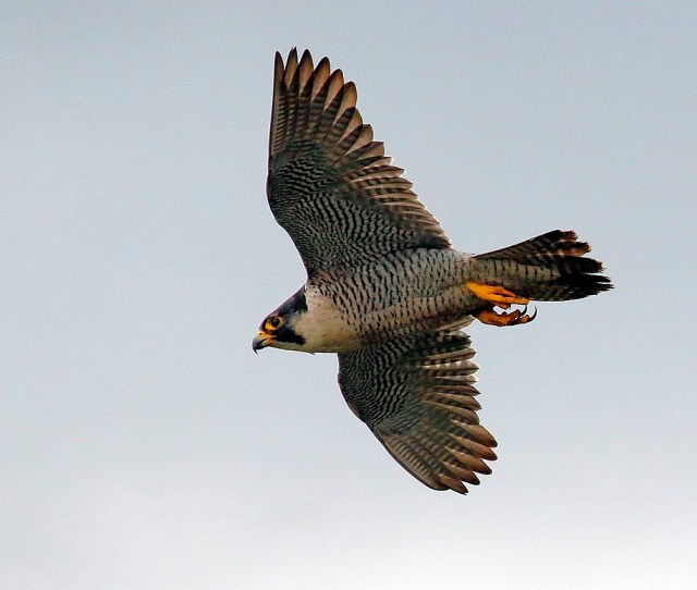 Speedy One Of The Peregrines At Malham Cove Picture Dave Dimmock