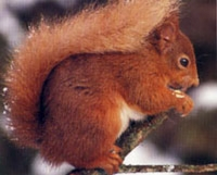 euro_red_squirrel