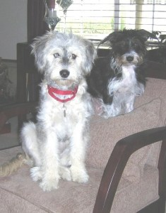 Annie as a pup (left) with her 'big' brother Alfie